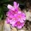 Alain Bigou - Armeria alpina Willd. [1809]