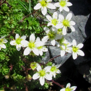 Saxifraga praetermissa D.A.Webb [1963] (Saxifrage négligée)