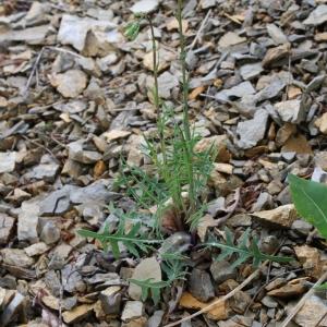 Photographie n°68389 du taxon Lactuca perennis L.