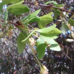 Photographie n°68427 du taxon Acer monspessulanum L. [1753]