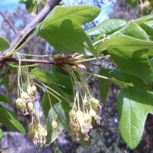 Photographie n°68428 du taxon Acer monspessulanum L. [1753]