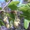 Genevieve Botti - Acer monspessulanum L.