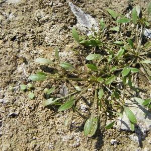 Limosella aquatica L. (Limoselle aquatique)