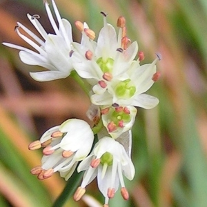 Photographie n°68475 du taxon Allium carinatum L. [1753]