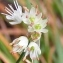 Alain Bigou - Allium carinatum L. [1753]