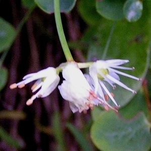 Photographie n°68487 du taxon Allium carinatum L. [1753]