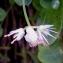 Alain Bigou - Allium carinatum L.