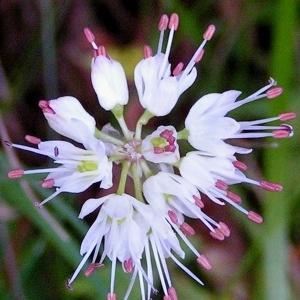 - Allium carinatum L. [1753]