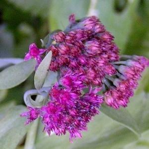 Photographie n°68490 du taxon Sedum telephium L.