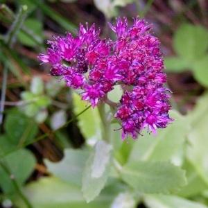 Photographie n°68495 du taxon Sedum telephium L.