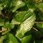 Martin SERRE - Ranunculus ficaria L.