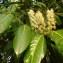Martin SERRE - Prunus laurocerasus L.