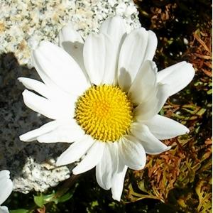 Leucanthemum halleri (Suter) Ducommun (Marguerite de Haller)
