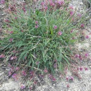 Photographie n°68622 du taxon Astragalus monspessulanus L.