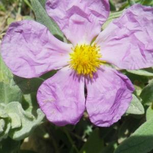 Cistus albidus L. (Ciste blanchâtre)