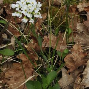 - Noccaea montana subsp. montana