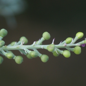 Photographie n°68684 du taxon Fumaria vaillantii Loisel.