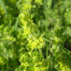 Cruciata laevipes Opiz (Croisette commune)