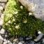 Alain Bigou - Saxifraga exarata subsp. moschata (Wulfen) Cavill. [1913]