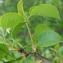 Paul Fabre - Prunus mahaleb L.