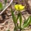 Paul Fabre - Ranunculus arvensis L. [1753]