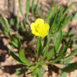 Photographie n°68761 du taxon Ranunculus arvensis L. [1753]