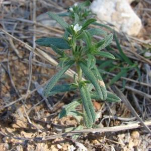 Photographie n°68762 du taxon Lithospermum arvense L.