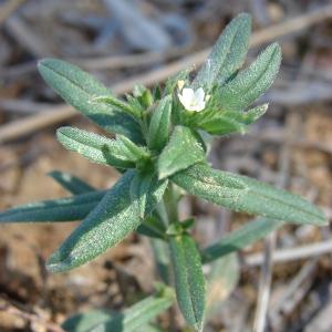 Photographie n°68763 du taxon Lithospermum arvense L.