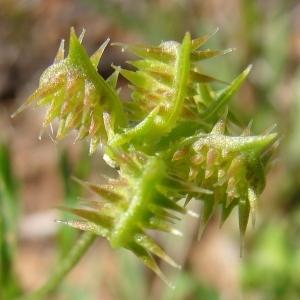 Photographie n°68783 du taxon Ranunculus arvensis L. [1753]