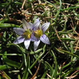 Photographie n°68785 du taxon Romulea columnae Sebast. & Mauri