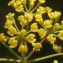 Liliane Roubaudi - Bupleurum fruticosum L. [1753]