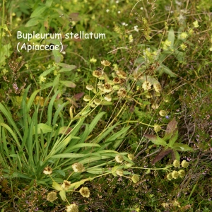 Photographie n°68862 du taxon Bupleurum stellatum L. [1753]
