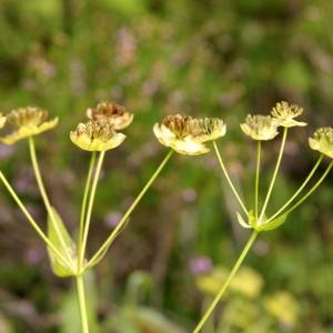 Photographie n°68863 du taxon Bupleurum stellatum L. [1753]