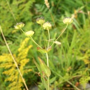Photographie n°68870 du taxon Bupleurum stellatum L. [1753]