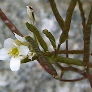 Photographie n°68899 du taxon Arabis alpina L.