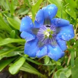 Photographie n°68962 du taxon Gentiana angustifolia Vill. [1787]