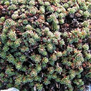 Saxifraga oppositifolia L. subsp. oppositifolia (Saxifrage à feuilles opposées)