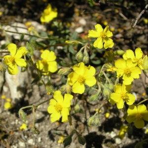Photographie n°69001 du taxon Helianthemum nummularium subsp. tomentosum (Scop.) Schinz & Thell. [1909]