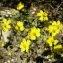 Léa WEGWITZ - Helianthemum nummularium subsp. tomentosum (Scop.) Schinz & Thell. [1909]