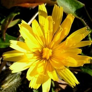 Scorzoneroides pyrenaica (Gouan) Holub (Liondent des Pyrénées)