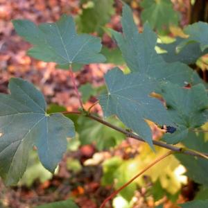 Photographie n°69067 du taxon Acer pseudoplatanus L.