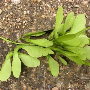 Photographie n°69070 du taxon Acer pseudoplatanus L.