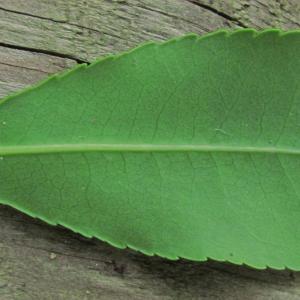 Photographie n°69076 du taxon Arbutus unedo L. [1753]