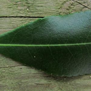 Photographie n°69077 du taxon Arbutus unedo L. [1753]