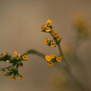 Bupleurum praealtum L. [1756] (Buplèvre à feuilles de jonc)