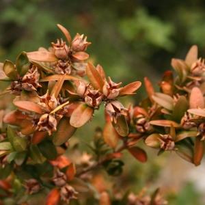 Photographie n°69152 du taxon Buxus sempervirens L.