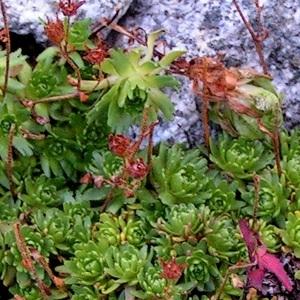 Photographie n°69171 du taxon Saxifraga exarata subsp. moschata (Wulfen) Cavill. [1913]