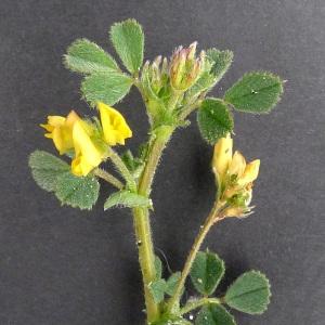 Photographie n°69209 du taxon Medicago littoralis Rohde ex Loisel.