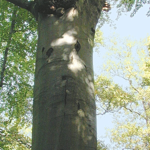 Photographie n°69357 du taxon Fagus sylvatica L.