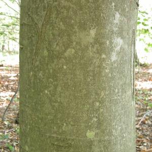 Photographie n°69359 du taxon Fagus sylvatica L.